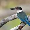 Collared Kingfisher (Todiramphus chloris), Tallebudgera Creek, Burleigh Heads, Queensland.
