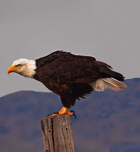 Bald Eagle ready to fly. Lower Klamath Wildlife Refuge.