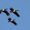 Magpie Geese (Anseranas semipalmata), Tallebudgera Creek, Burleigh Heads, Queensland.