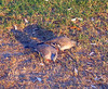 Crested Pigeons (Ocyphaps lophotes), Sydney, Australia, 12 Apr 2006.