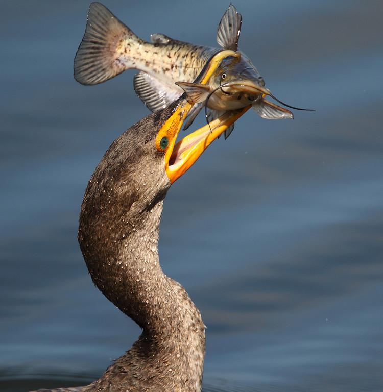 IMAGE: http://www.mikeswildlife.com/Other/Birds/i-78cds9n/0/XL/749-XL.jpg