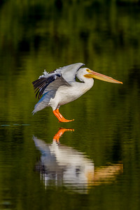 White Pelican touching down