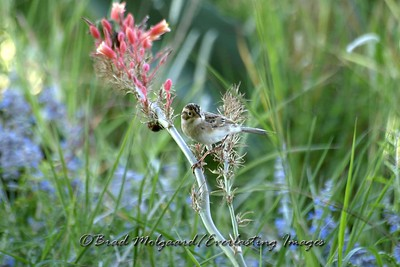 Clay-colored Sparrow, Red Tip Yucca & Russian Sage