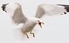 Seagull tantrum