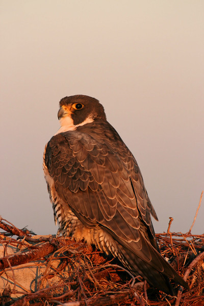 Peregrine Falcon at the beach #1