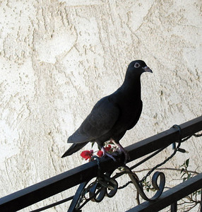 Rock Pigeon (Columba livia domestica) on the rail of our terrace, 11 Jun 2007