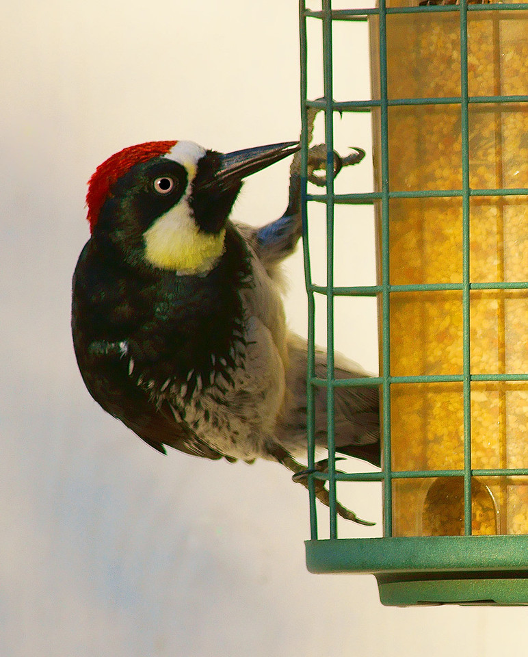 Acorn Woodpecker, You lookin' at me?