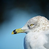 Bird Watcher,  Ring Beaked Seagull