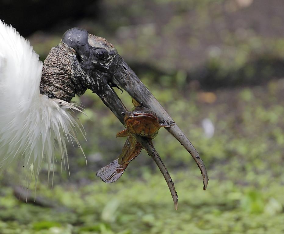 IMAGE: https://photos.smugmug.com/Other/Birds/i-9zZCLHG/0/5ab22bc0/XL/1071-XL.jpg