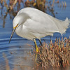 Snowy Egret Fishing in the Pickelweed<br /> Marshland along South San Francisco Bay