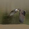 Eastern Osprey (Pandion haliaetus), Tallebudgera Creek, Burleigh Heads, Queensland.