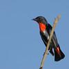 Mistletoebird, Narrowneck, Gold Coast, Queensland.
