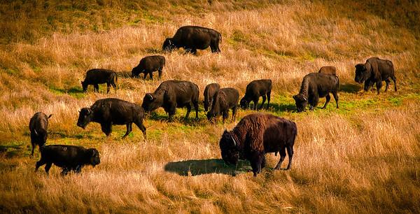 Loose Buffalo