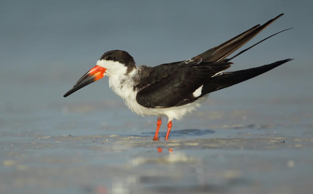 IMAGE: https://photos.smugmug.com/Other/Birds/i-C9XvBPb/0/1d32ca20/XL/581-XL.jpg
