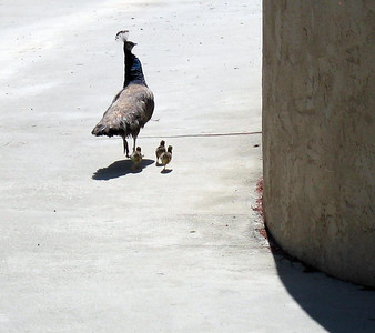Indian Blue Peafowl (Pavo cristatus) with chicks on our driveway, 14 Jun 2007