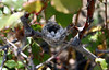 Costa's hummingbird nest, Lakeview Mountains, 15 Mar 2008