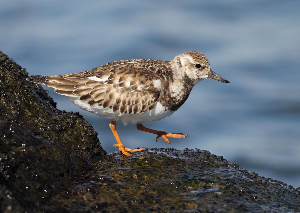 IMAGE: https://photos.smugmug.com/Other/Birds/i-Cv9pfQ4/0/f088fcc0/XL/BB8I3788-XL.jpg