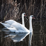 Mute Swans #1