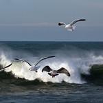 Gull #2