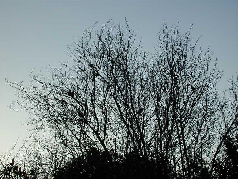 Robins & Camphor Trees
