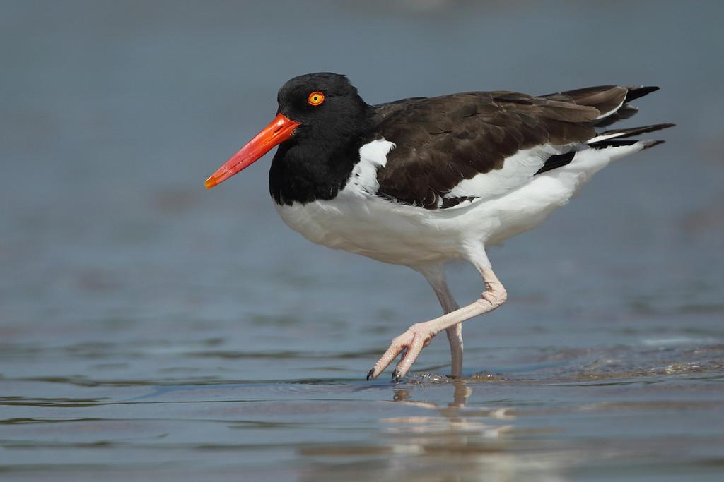 IMAGE: https://photos.smugmug.com/Other/Birds/i-FBgRF8k/0/aff6d6da/XL/386-XL.jpg