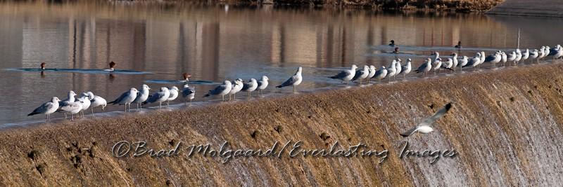 """Gulls & Mergansers"" Lower Tansill Dam - Carlsbad, NM"