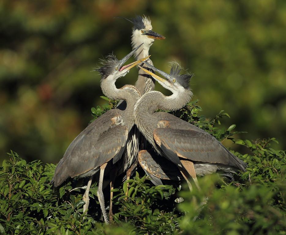 IMAGE: https://photos.smugmug.com/Other/Birds/i-GdtrWgW/0/6d2215c7/XL/405-XL.jpg
