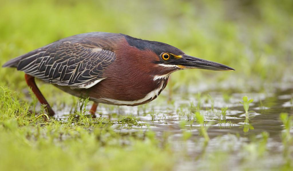 IMAGE: http://www.mikeswildlife.com/Other/Birds/i-Gk7CLgb/0/XL/2453-XL.jpg