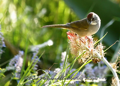 """""""Contemplating"""" (Green-tailed Towhee)"""