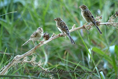 """Clay-colored Sparrows Three"""