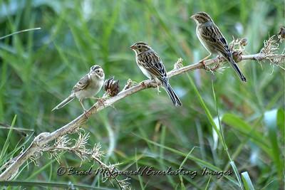 """Clay-colored Sparrows Three"""