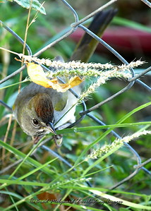 """Through The Fence"" (Green-tailed Towhee)"