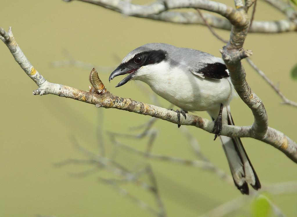 IMAGE: https://photos.smugmug.com/Other/Birds/i-J8W4TLq/0/718c2cc7/XL/BB8I4446-XL.jpg