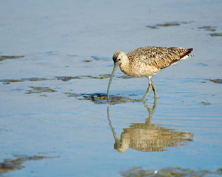 Muddy meal<br /> long-billed Curlew, Aptos, CA