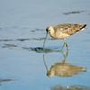 Muddy meal<br /> long-billed Curlew, Aptos, CA