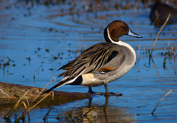 Northern Pintail at Sacramento Refuge.