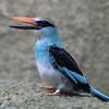 Javan Kingfisher, Jurong Bird Park, Singapore.