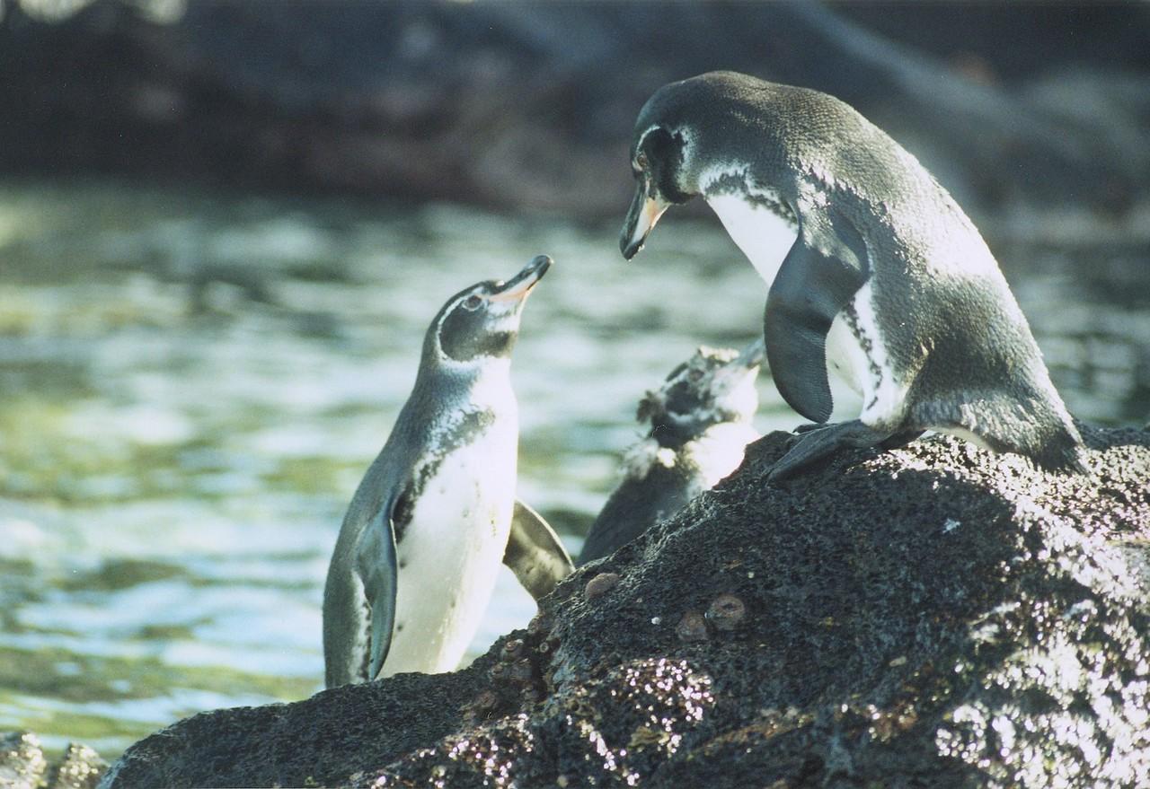 Galopagos Penquins Galopagos Islands