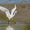 Little Egret (Egretta garzetta), Tallebudgera Creek, Burleigh Heads, Queensland.