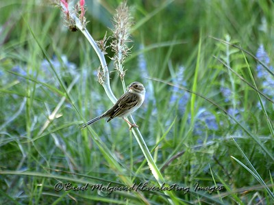 Clay-colored Sparrow & Russian Sage