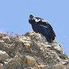 Condor #460 (white tag 60) with radio tag visible. This female was born in 2009 in Boise, Idaho, then released in the Pinnacles.