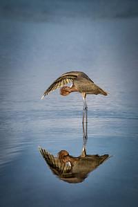 Reddish Egret Under Wing Preening Reflection
