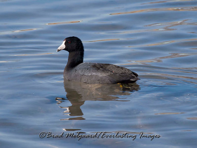 """Coot"" Lower Dam - Carlsbad, NM"