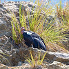 Condor #411 (white tag 11) rests on the way up the mountain after feeding on the beach below.  This male was born in 2006.