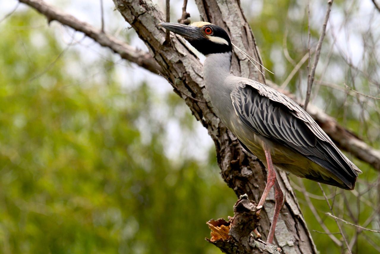 Yellow Crowned Night Heron - Atchafalaya Wetlands, Louisiana USA