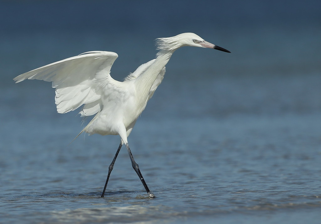 IMAGE: https://photos.smugmug.com/Other/Birds/i-LSpjnkh/0/cc0ad4b4/XL/BB8I5318-XL.jpg