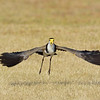Masked Lapwing (Vanellus miles), The Broadwater, Gold Coast, Queensland.