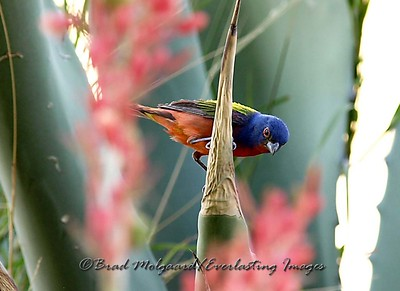 """Painted Bunting on an Agave"""
