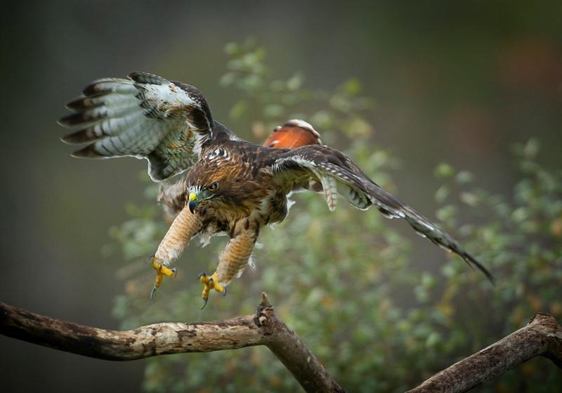 Red tail landing