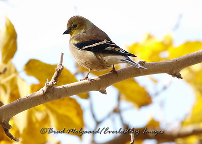 American Goldfinch (winter form)